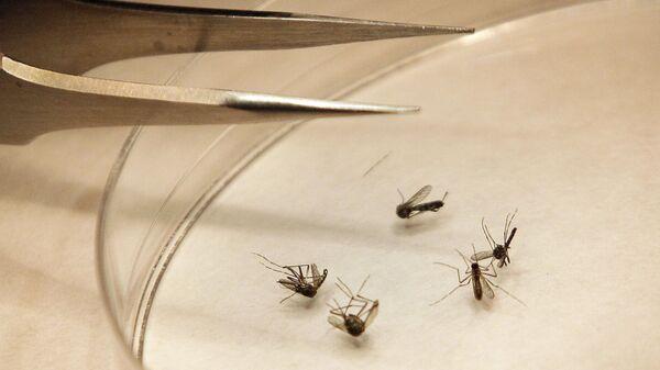 Москиты в лаборатории