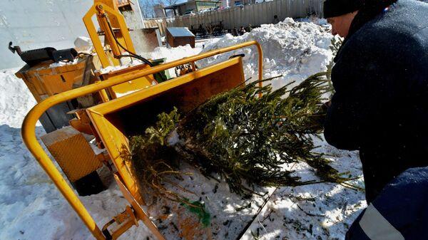 Рабочий помещает новогоднюю ёлку для утилизации в дробильную машину