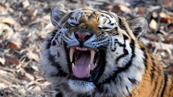 Тигр Амур в Приморском сафари-парке. Архивное фото