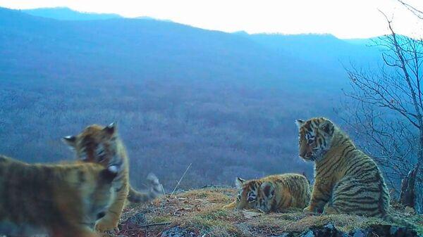 Игры амурских тигрят в парке Земля леопарда. Съемка камеры слежения