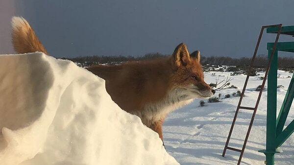 Лисица, зашедшая на кордон Исток на берегу Кроноцкого озера
