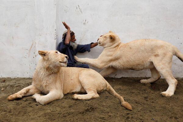 Смотритель за животными Мами играет с парой домашних львов на окраине Пешавара, Пакистан