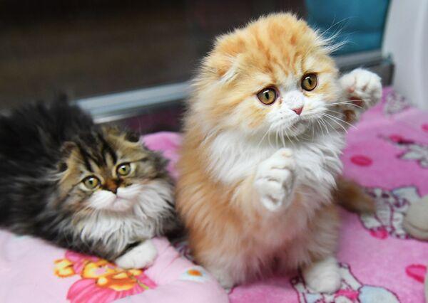 Кошки породы хайленд-фолд на выставке-продаже котят Любимчик в галерее Мир кошек в Москве