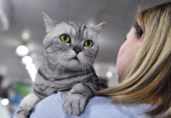 Кошка породы британская на выставке котят Любимчик в галерее Мир кошек в Москве