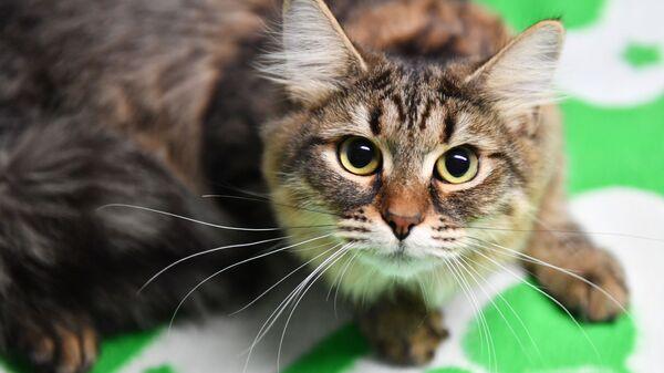 Кошка породы сибирская на выставке-продаже котят Любимчик в галерее Мир кошек в Москве