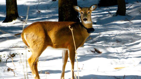 Белохвостый олень – одна из главных жертв человека