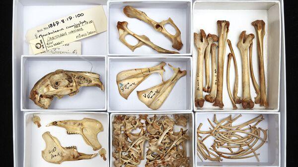 Кости кролика из личной коллекции Чарльза Дарвина