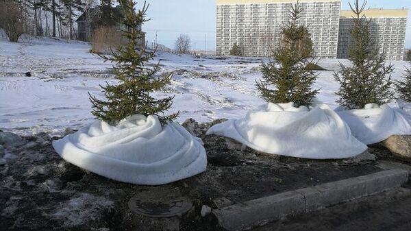 Укрытые синтепоном газоны на проспекте Свободный в Красноярске