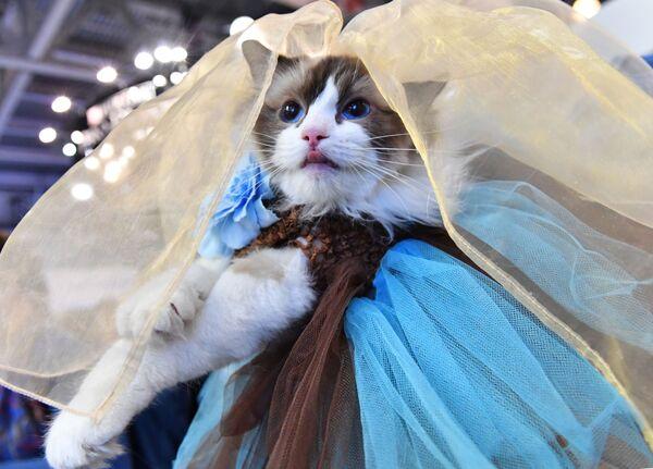 Кошка породы рэгдолл в костюме принцессы участвует в конкурсе Кошка в одежке на выставке Кэтсбург