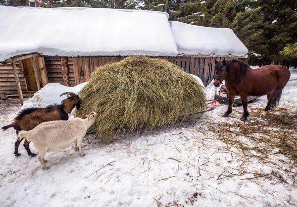 Монастырские козы и конь на территории мужского монастыря Свято-Ильинская Водлозерская Пустынь на острове Малый Колгостров озера Водлозеро в Карелии
