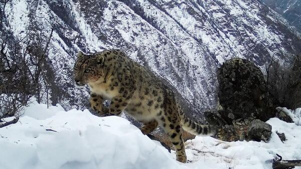 Снежный барс в национальном парке Сайлюгемский Республики Алтай