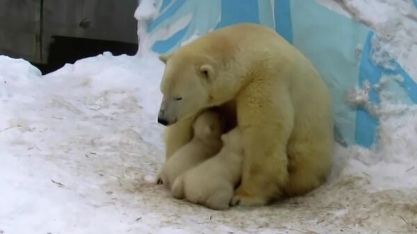 Белая медведица Герда и малыши в Новосибирском зоопарке им. Р. А. Шило