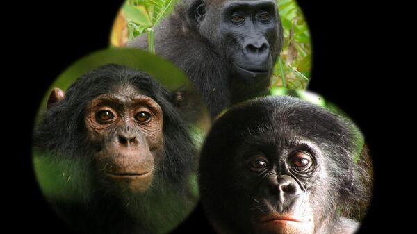 Дикие карликовые шимпанзе боятся скрытых камер, выяснили ученые
