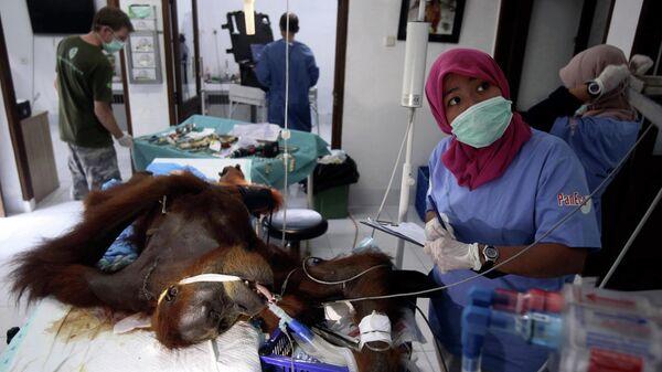 Самка орангутана, найденная недалеко от фермы в индонезийской провинции Ачех , где, предположительно, ее расстреляли из пневматического оружия