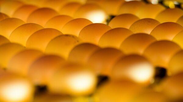 Проверка качества яиц на овоскопе на участке сортировки и упаковки на птицефабрике Ново-Барышевская в Новосибирской области