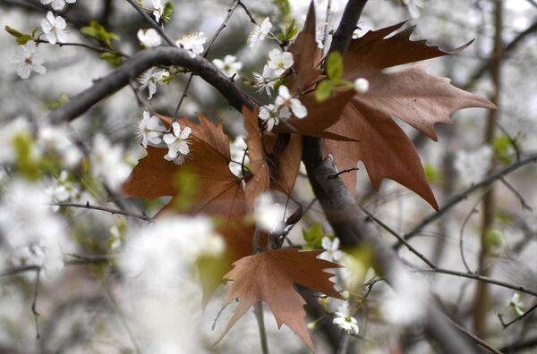 Цветущее дерево в Севастополе