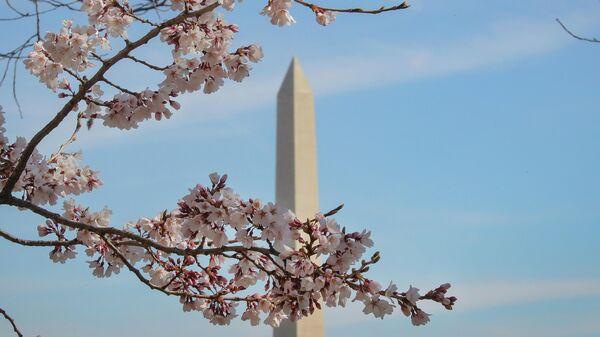 Цветение сакуры в Вашингтоне, США