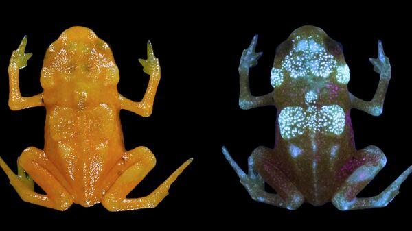 Причудливая бразильская седлоносая жаба, чей скелет светится под действием ультрафиолета