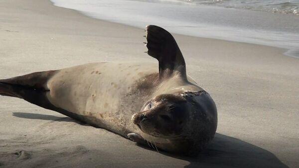 Раненый тюлень, найденный на побережье Балтийского моря в городе Балтийске Калининградской области