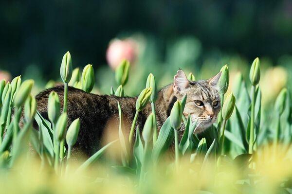 Кот в клумбе с тюльпанами в Никитском ботаническом саду в Крыму