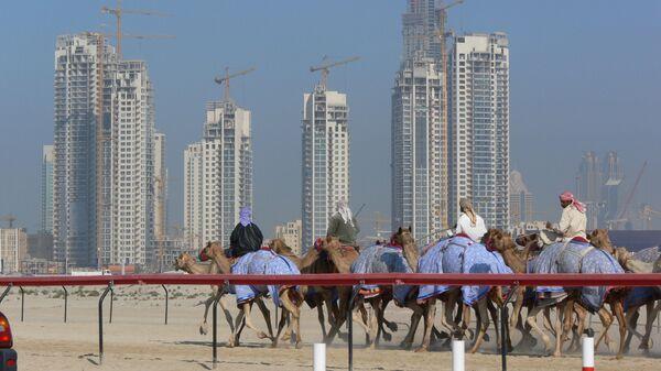 Верблюды в Дубае