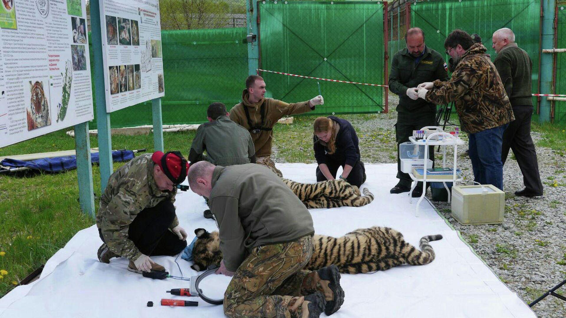 1553470520 0:67:1280:787 1920x0 80 0 0 db87c3301cbcee6ae9af18a680b0b74e - Полиция Приамурья нашла подозреваемых в убийстве краснокнижного тигра