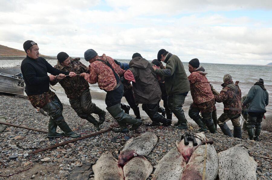 Мужчины вытаскивают тушу моржа на берег в районе поселка Аккани