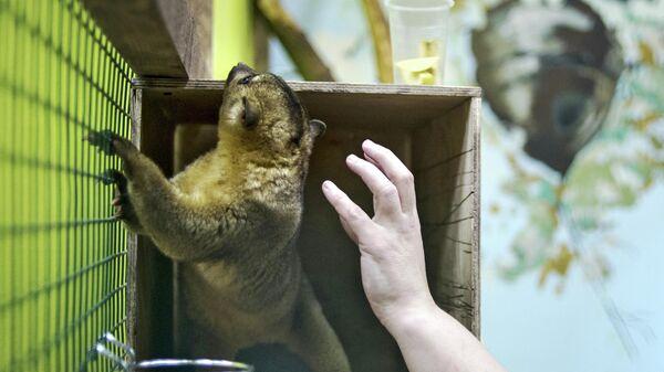 Кинкажу в контактном зоопарке