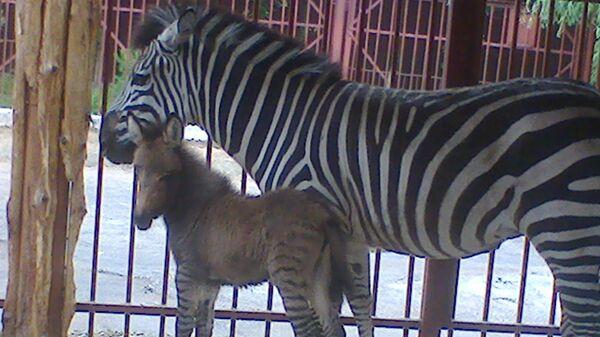 Зеброид в Липецком зоопарке