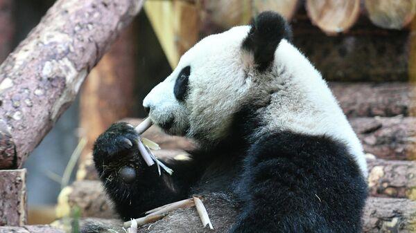 Одна из двух больших панд, переданных Китаем Московскому зоопарку