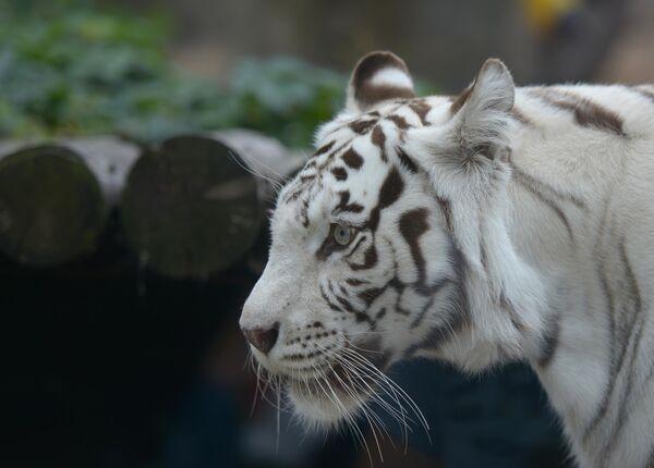 Белый бенгальский тигр в Московском зоопарке