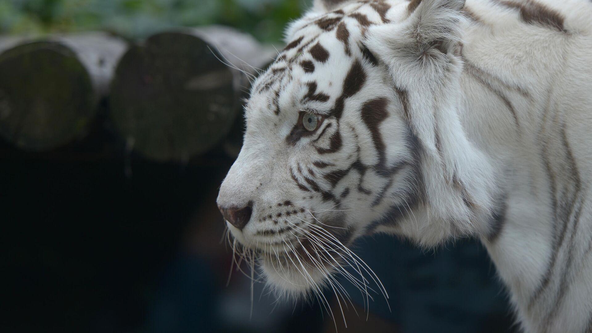 Белый бенгальский тигр в Московском зоопарке - РИА Новости, 1920, 02.09.2021
