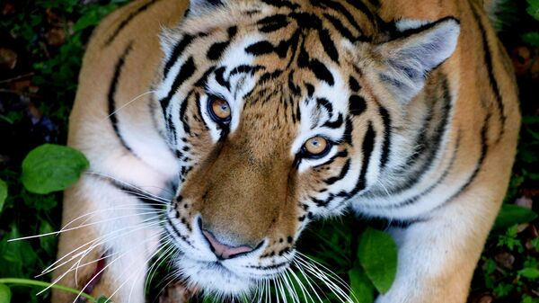 Жителя Хабаровского края подозревают в убийстве тигра