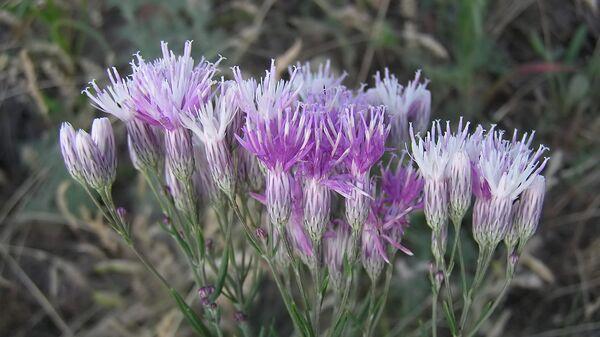 Цветы сюссюреи