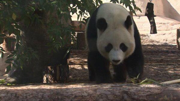 За стеклом: панды Жуи и Диндин поселились в Московском зоопарке