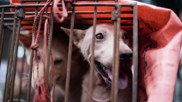 Клетка с собаками на фестивале собачьего мяса в городе Юйлинь, Китай