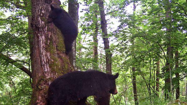 Падение гималайского медвежонка с дерева в приморском нацпарке Земля леопарда