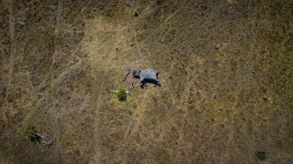 Джастин Салливан. Аэрофотоснимок африканского слона, убитого браконьерами – добытчиками слоновой кости в Северной Ботсване
