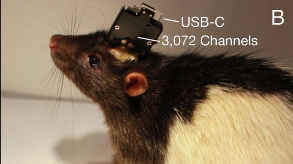 Крыса-киборг с нейропротезом Neuralink