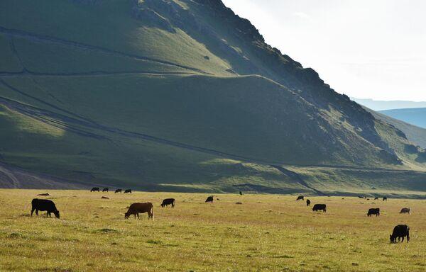 Пастбище коров в окрестностях горы Эльбрус в Кабардино-Балкарии