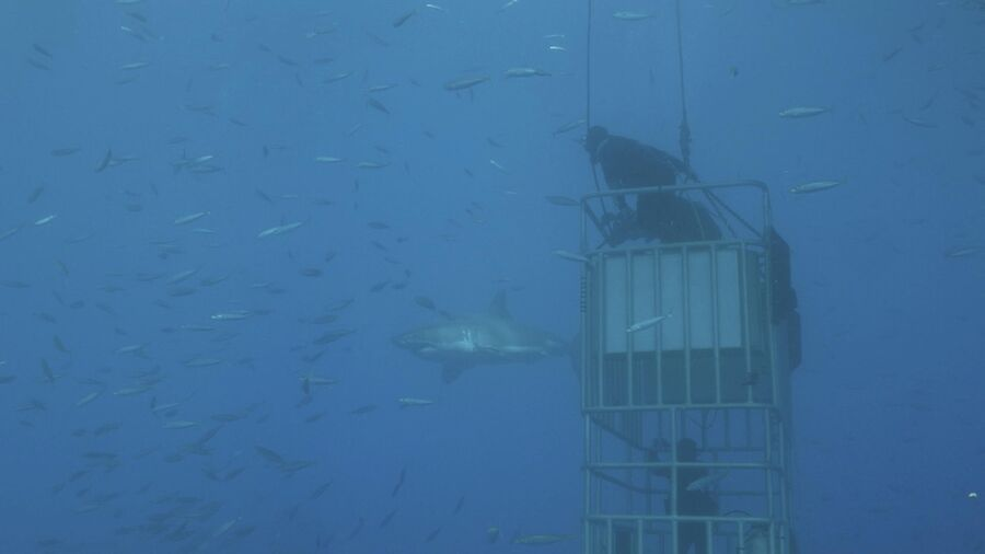 Мексика, остров Гуадалупе. Валдис Пельш  на крыше клетки в океане, близко подплыла большая белая акула, во время съемок фильма Большой белый танец