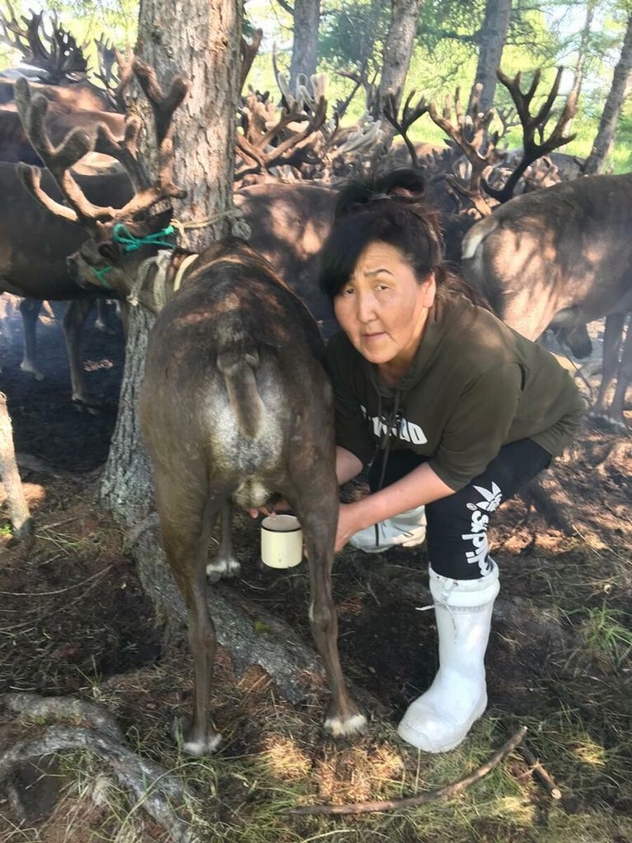 Екатерина Шмонина набирает оленье молоко