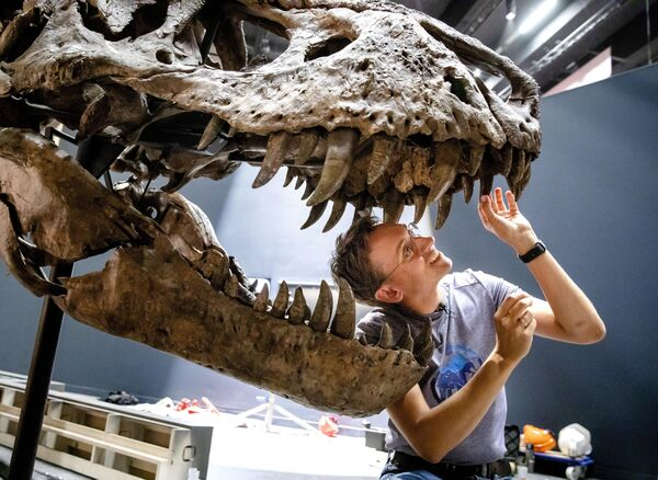 Палеонтолог собирает скелет тираннозавра Рекса в Лейдене, Нидерланды