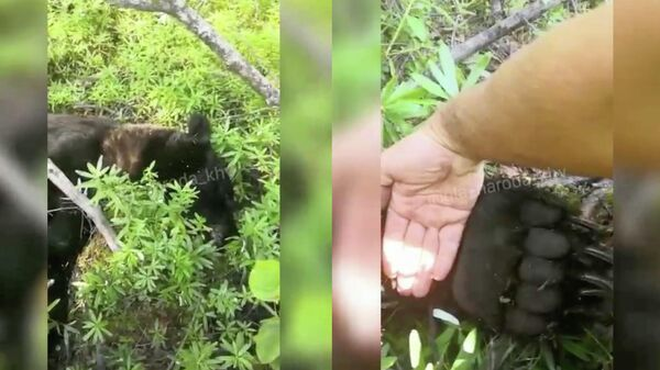 Медведь, напавший на грибника возле поселка Сулук Верхнебуреинского района Хабаровского края