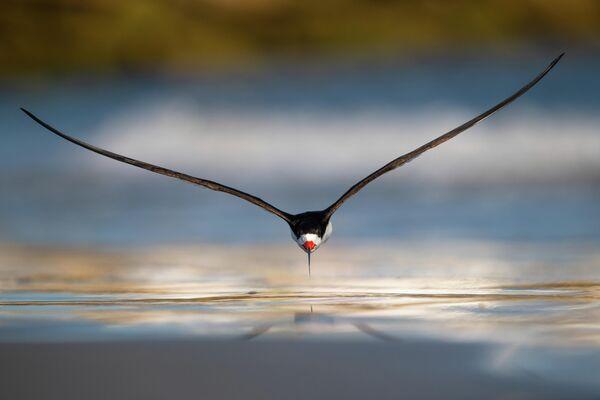 Работа фотографа Nikunj Patel, занявшая первое место в категории Птицы в полете в фотоконкурсе Bird Photographer of the Year 2019