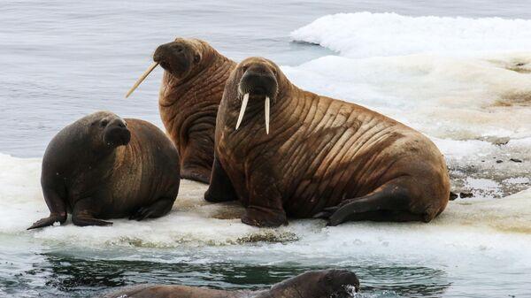 Морж на льдине в Северном Ледовитом океане