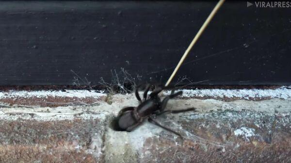 Британец обнаружил паука в стене офиса