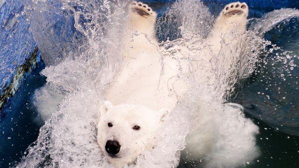 Белая медведица Урсула прыгает в бассейн в красноярском зоопарке Роев ручей