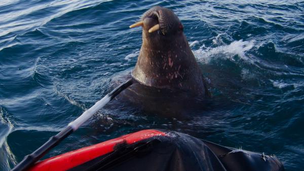 Моржиха, напавшая на лодку участников экспедиции