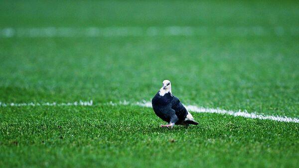 Голубь на поле во время матча Россия - Бельгия
